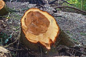 Tronco de árbol talado.